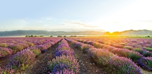 Young Living Lavender Farm Mona Utah